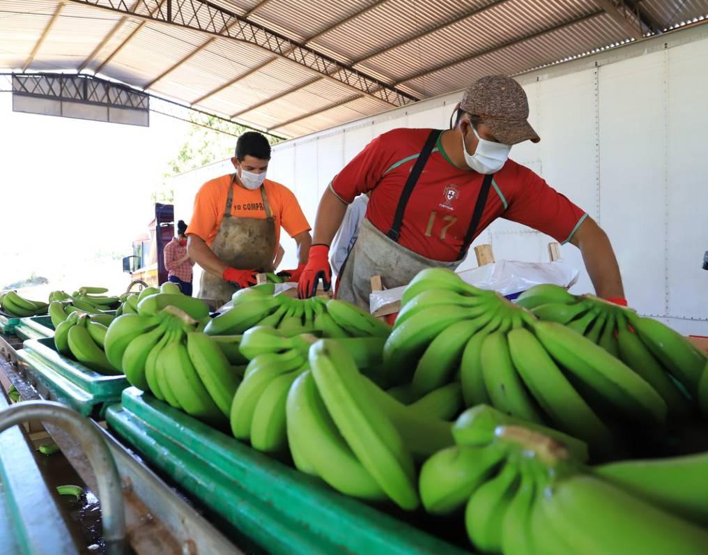 Buenos precios impulsan envíos de banana a Argentina